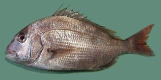1280px-Pagrus_major_Red_seabream_ja01.jpg