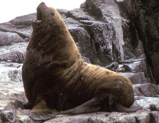 1024px-Adult_male_Northern_Fur_Seal.jpg