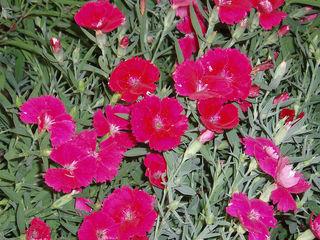 800px-DianthusChinensis11.jpg