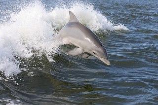 800px-Dolphin,2007-4-13.jpg