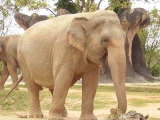 800px-Elephanteating.jpg