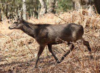 800px-Flickr_-_don_macauley_-_Sika_Deer.jpg