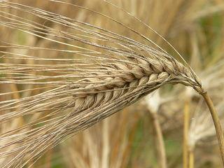 800px-Korea-Barley-01.jpg