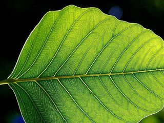 800px-Leaf_1_web.jpg