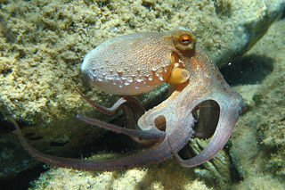 800px-Octopus_vulgaris2.jpg