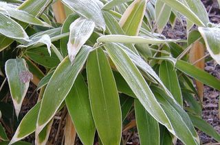 800px-Sasa-palmata-winter.JPG