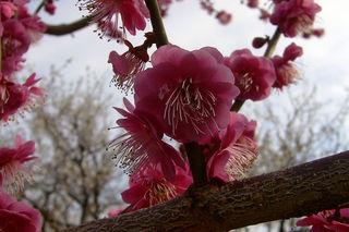 800px-Senri-Bairin_Minabe_Wakayama00bs1500.jpg