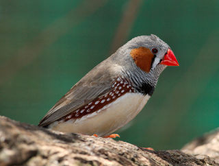 800px-Taeniopygia_guttata_-_profile_-_dundee_wildlife_park.jpg