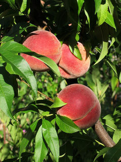 800px-Vineyard_peaches_de.jpg