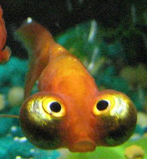 Celestial_eye_goldfish.jpg