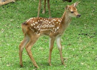 「鹿の子」模様.jpg