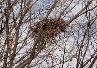 キジバトの巣 (2).jpg