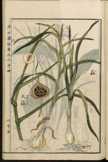 ニンニク 日本の農業百科事典 (1804年).jpg