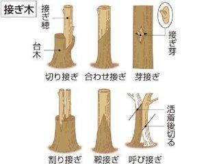 接ぎ木.jpg