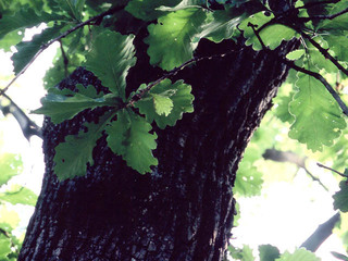 柏の葉.JPG