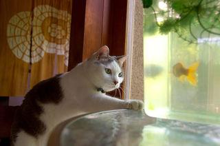 水槽の金魚を狙うネコ.jpg