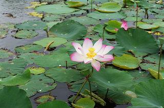 水面に繁殖するハス.jpg