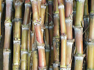 砂糖黍.jpg