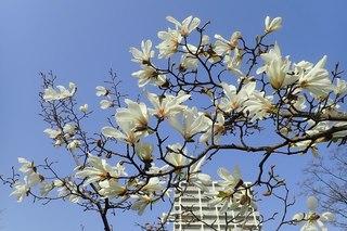 辛夷の花.jpg