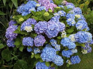 青色と紫色のあじさい.jpg