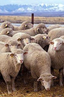 Flock_of_sheep.jpg